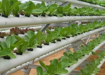 Jenis-Tanaman-Hidroponik-Sayur-yang-Mudah-Ditanam