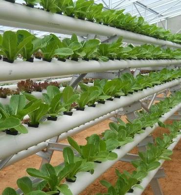 Jenis Tanaman Hidroponik Sayur yang Mudah Ditanam