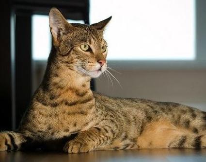 Jenis kucing peliharaan, populer, unik, dan bersahabat