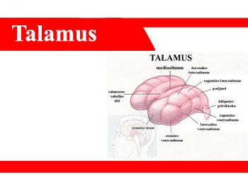 Talamus-Adalah-Fungsi-Letak-Struktur-Bagian-Anatomi